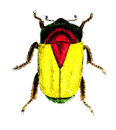 19th century engraving of a colourful beetle
