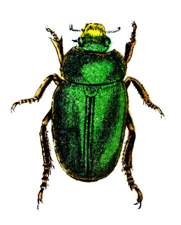 ground beetle: 19th century engraving of a colourful asian ground beetle