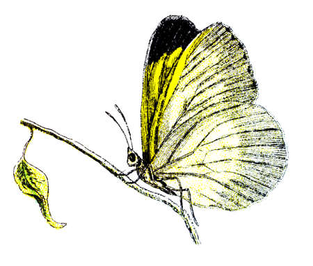 19th: 19th century engraving of a colourful butterfly