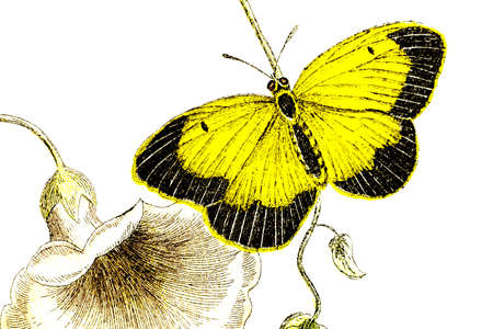 19th century engraving of a colourful sleepy orange butterfly