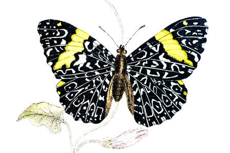 19th century engraving of a colourful cracker butterfly Imagens