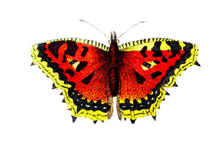 elm: 19th century engraving of a colourful elm butterfly Stock Photo
