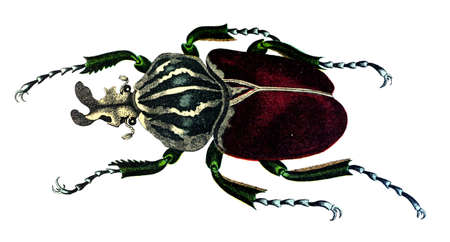 19th century engraving of a goliath beetle