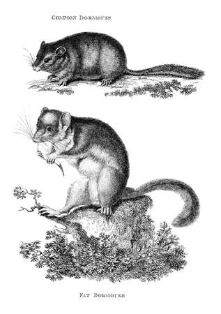 Victorian engraving of a dormouse. Digitally restored image from a mid-19th century Encyclopaedia. Stock Photo