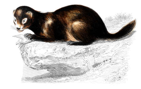 mink: Victorian engraving of a mink. Digitally restored image from a mid-19th century Encyclopaedia.