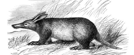 restored: Victorian engraving of an aardvark. Digitally restored image from a mid-19th century Encyclopaedia.