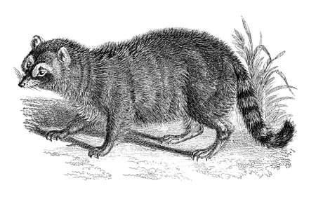 racoon: 19th century engraving of a racoon