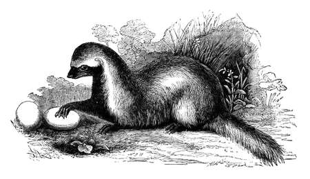 stolen: 19th century engraving of a Grison or weasel