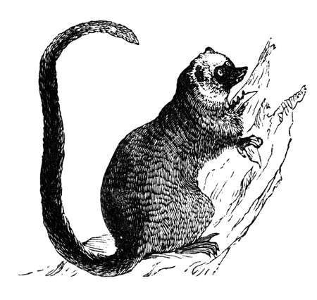 lemur: 19th century engraving of a lemur