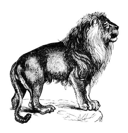 19th: 19th century engraving of a lion
