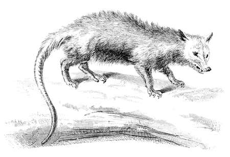 possum: 19th century engraving of an opossum Stock Photo