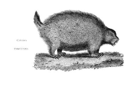 porcupine: Victorian engraving of a Canada porcupine. Digitally restored image from a mid-19th century Encyclopaedia.