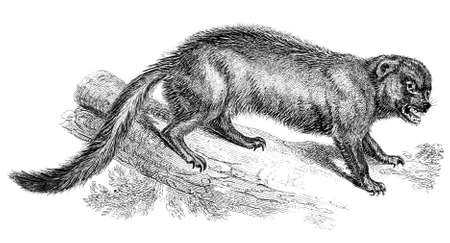 wolverine: 19th century engraving of a wolverine Stock Photo