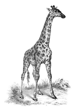 19th century engraving of a giraffe