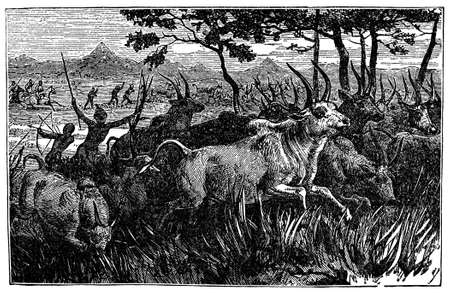 anthropology: Victorian engraving of an indigenous African cattle drive