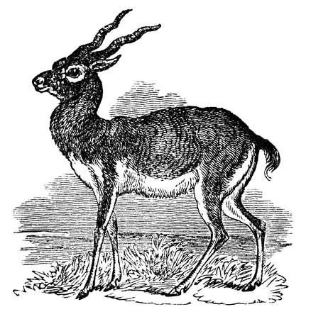 Victorian Gravur einer Antilope. Bild digital wiederhergestellt von einer Mitte des 19. Jahrhunderts Encyclopaedia. Standard-Bild - 42492252