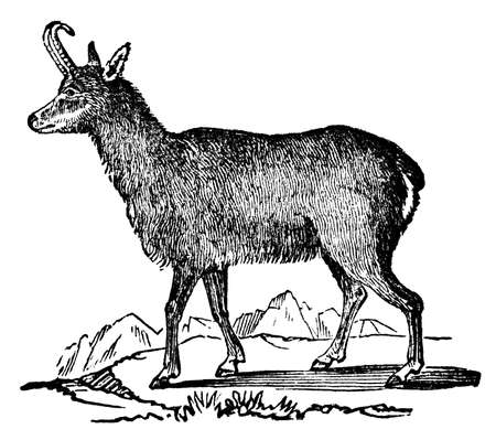 restored: Victorian engraving of a chamois. Digitally restored image from a mid-19th century Encyclopaedia.