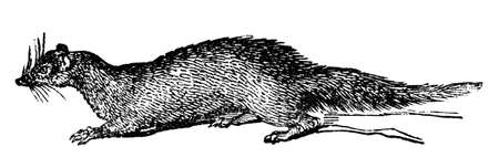 mongoose: Victorian engraving of a mongoose. Digitally restored image from a mid-19th century Encyclopaedia. Stock Photo