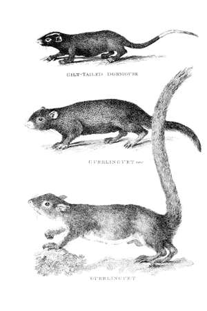dormouse: Victorian engraving of a dormouse and guerlinguet. Digitally restored image from a mid-19th century Encyclopaedia.