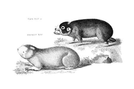 restored: Victorian engraving of rats, including a cape mole-rat. Digitally restored image from a mid-19th century Encyclopaedia. Stock Photo
