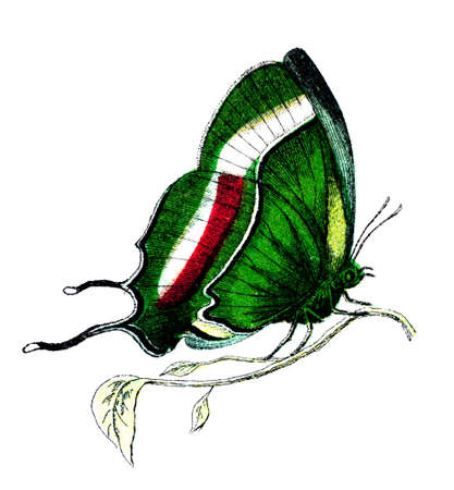 19th century engraving of a colourful butterfly