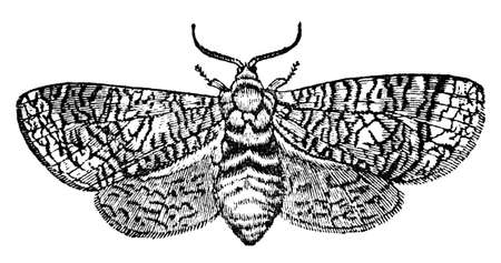 restored: Victorian engraving of a goat moth. Digitally restored image from a mid-19th century Encyclopaedia.