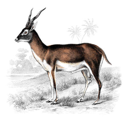 restored: Victorian engraving of a gazelle. Digitally restored image from a mid-19th century Encyclopaedia. Stock Photo