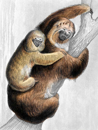 oso perezoso: 19a grabado del color siglo de un perezoso Foto de archivo