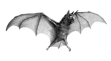 restored: Victorian engraving of a bat. Digitally restored image from a mid-19th century Encyclopaedia. Stock Photo