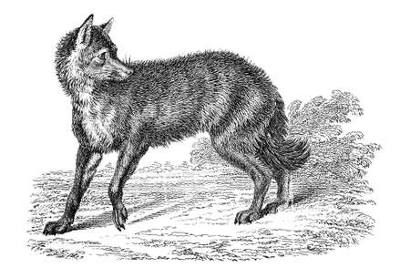 19th century engraving of a jackal