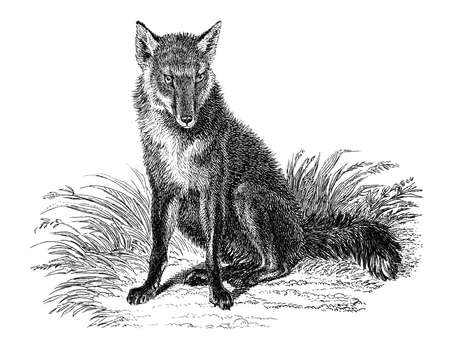 19th century engraving of a fox Stock Photo