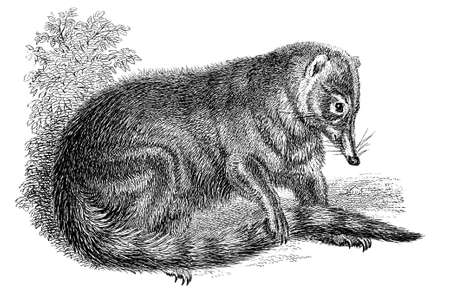 19th century engraving of a coati Stock Photo