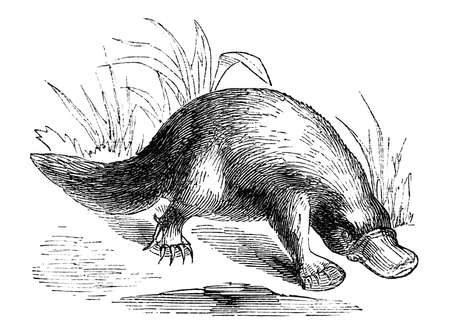platypus: 19th century engraving of a platypus Stock Photo
