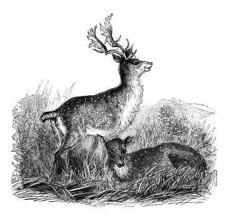 fallow deer: 19th century engraving of a fallow deer