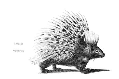restored: Victorian engraving of a porcupine. Digitally restored image from a mid-19th century Encyclopaedia.
