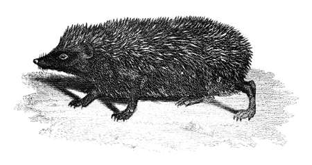 19th: 19th century engraving of a hedgehog