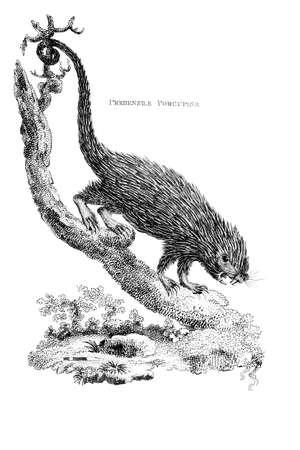 ヤマアラシのビクトリア朝の彫刻。デジタル中間第 19 世紀の百科事典からイメージを復元します。 写真素材