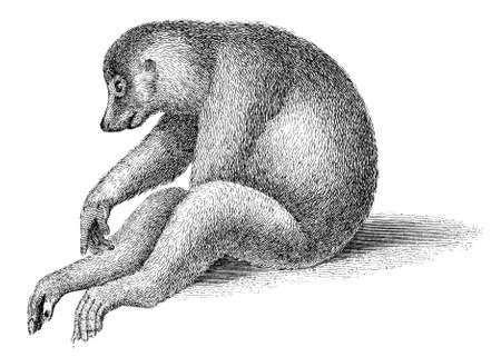 19th: 19th century engraving of a lemur