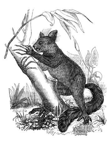 lemur: 19th century engraving of an aye-aye lemur Stock Photo