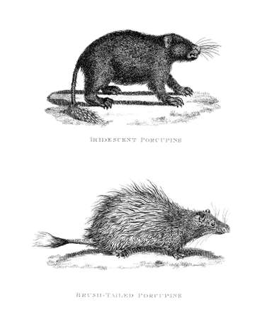 porcupine: Victorian engraving of a porcupine. Digitally restored image from a mid-19th century Encyclopaedia.