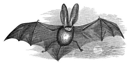 haloween: 19th century engraving of a long-eared bat