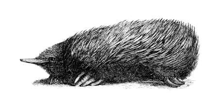 porcupine: 19th century engraving of a porcupine anteater
