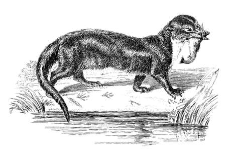 otter: 19th century engraving of an otter