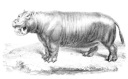 19th century engraving of an hippopotamus Zdjęcie Seryjne