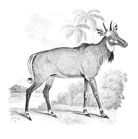 19th century engraving of a nylghau or Indian antelope