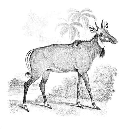 Stich einer nylghau oder indische Antilope aus dem 19. Jahrhundert Standard-Bild - 42492650