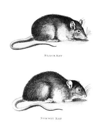 Victorian engraving of a rat. Digitally restored image from a mid-19th century Encyclopaedia.