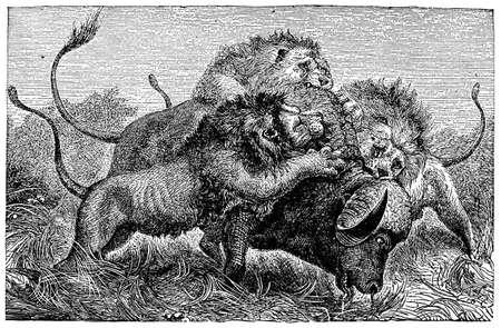 Victorian engraving of lions yaking down a buffalo Reklamní fotografie