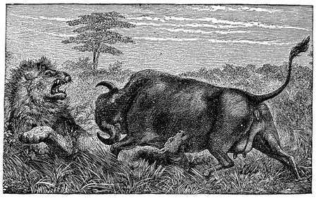 defending: Victorian engraving of a buffalo goring a lion