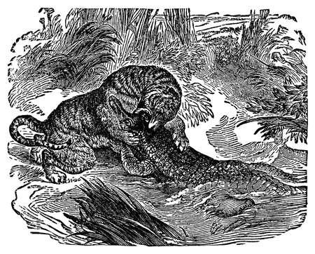 Victorian engraving of a leopard fighting a crocodile Reklamní fotografie